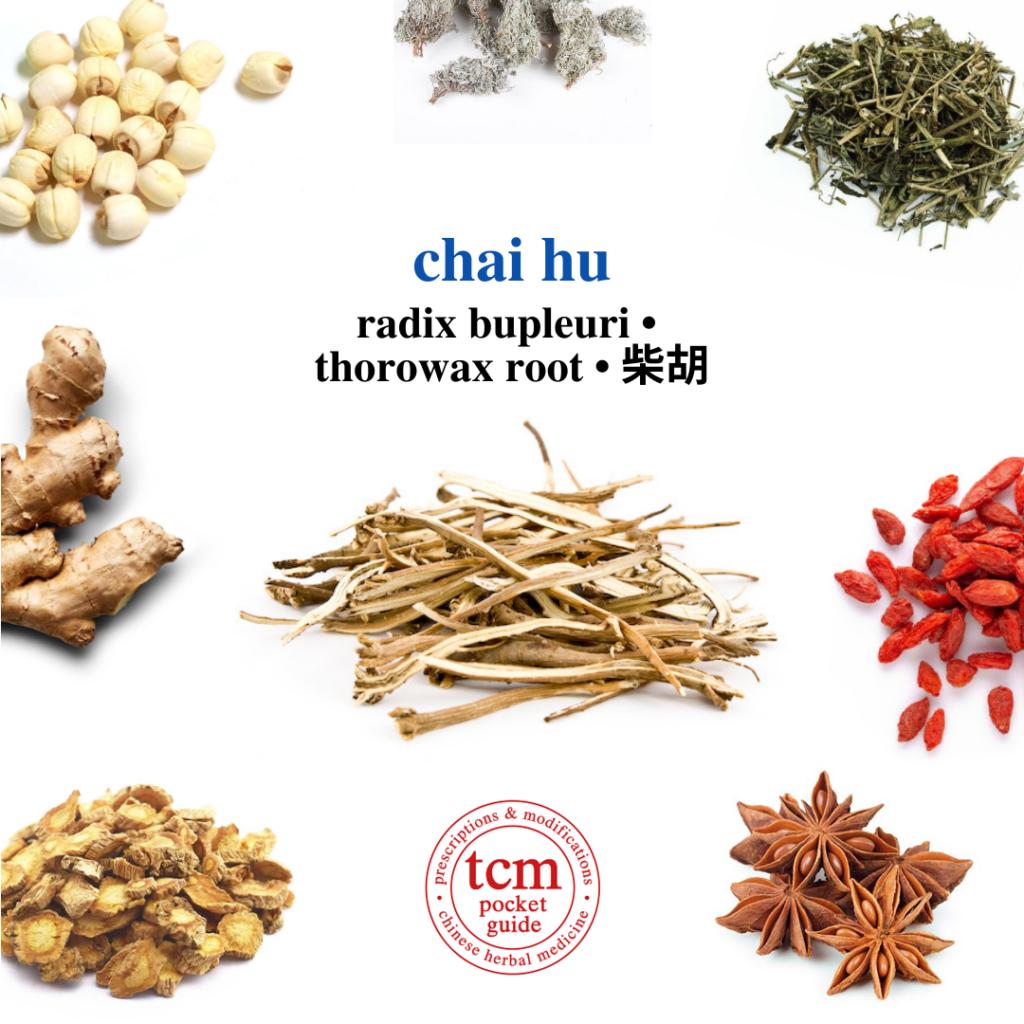 tcm pocketguide - chai hu • radix bupleuri • thorowax root • 柴胡 - herb - chinese herbal medicine - tcm