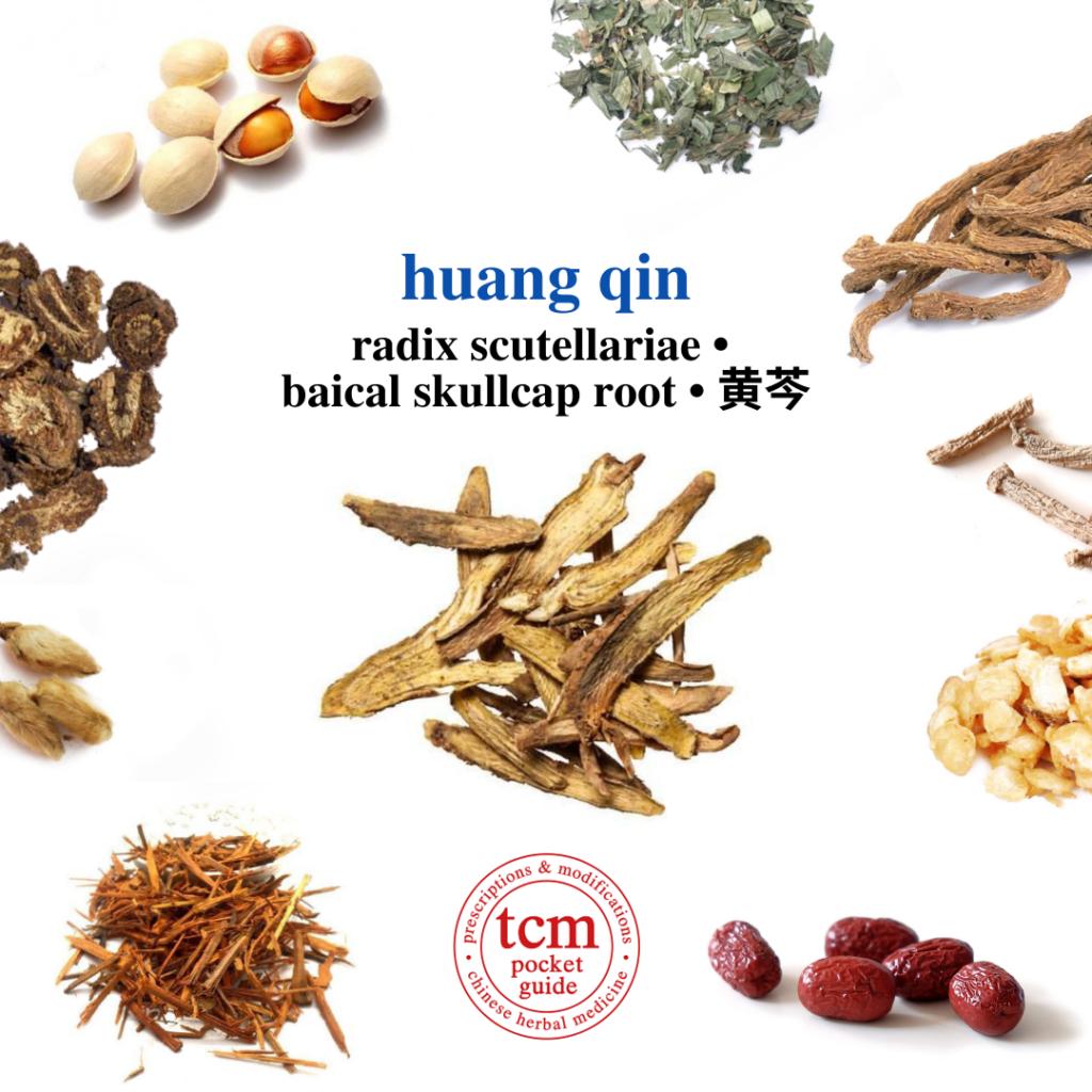tcm pocketguide - huang qin • radix scutellariae • baical skullcap root • 黄芩 - herb - chinese herbal medicine - tcm